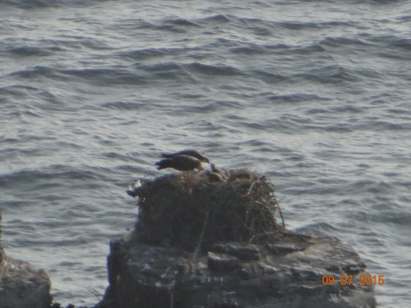 Breeding ospreys with two young coast of Portugal  Photo Luis Palma